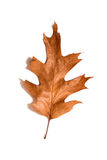 One dry fallen oak leaf on white Royalty Free Stock Photos