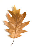One dry fallen oak leaf on white Stock Photos