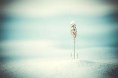 one dry grass under the snow, close-up filter Stock Images