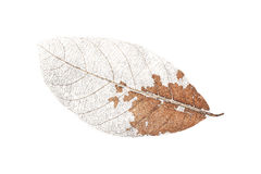 one dry leaf isolated on white Royalty Free Stock Images