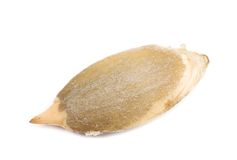 One dry pumpkin seed. Stock Photo