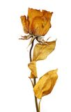 One dry rose Royalty Free Stock Photos