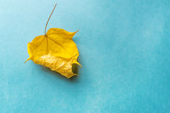 One dry yellow leaf on blue background. Stock Photo