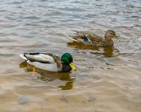 One duck and one drake swim in clear water royalty free stock image