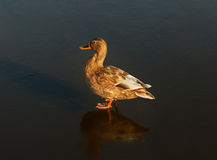 One duck on the ice of lake. Stock Images
