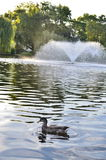 One duck in a lake. One duck wiggle in a lake with a beautiful waterworks Stock Photos