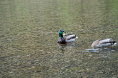 One duck on the lookout. While another looks for food royalty free stock photo