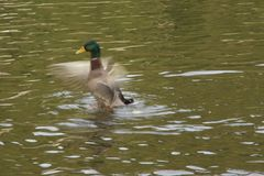 One duck at the water`s - Bassin de la muette Elancourt. / France Royalty Free Stock Photos