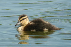 One duckling Stock Images