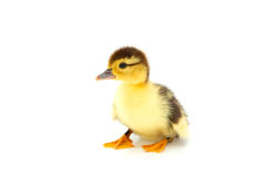 Free One Duckling Isolated On A Whiteground. Royalty Free Stock Images - 5913689