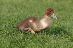 One duckling is walking bravely in grass Stock Image