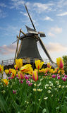 One dutch windmill over  tulips Stock Photos