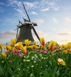 One dutch windmill over  tulips Stock Image