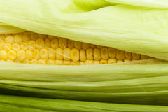 One on ear of corn isolated Stock Photos