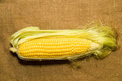 One ear of corn ripe old cloth Stock Photo
