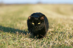 One-eared black cat Stock Image