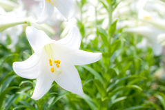 One of easter lily Stock Image