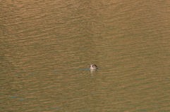 One Eastern Spot-billed ducks swimming alone Stock Images