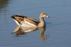 One Egyptian Goose on the water in Ndutu, Serengeti, Tanzania. One Egyptian Goose on the water in the Ndutu area of Serengeti, Tanzania Stock Images