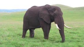 One Elephant in Afrika stock footage