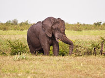 One elephant bull full of mud Royalty Free Stock Photo