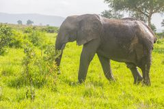 One elephant goes in the grass Royalty Free Stock Photo