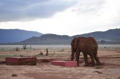 One elephant , Kenya Stock Images