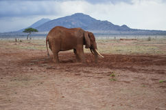 One elephant , Kenya. Elephant in The Savana of the Tsavo National Park, Kenya ,Africa Stock Images
