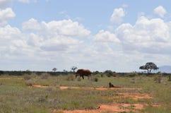 One elephant, Kenya. One elephant walking in the savannah, on safari in Kenya Royalty Free Stock Photos