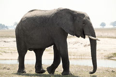 One elephant namibia Stock Photo