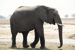 One elephant namibia. One elephant walking on national park namibia Stock Photo