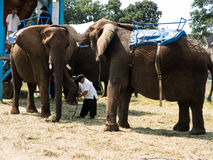 One elephant pities another elephant at a fair. One elephant pities another elephant Royalty Free Stock Images