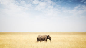 One Elephant Walking in Grass in Africa Royalty Free Stock Photography