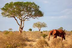 One elephant walking in the savannah, on safari Stock Photos
