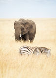 One Elephant and Zebra in Africa Royalty Free Stock Photography