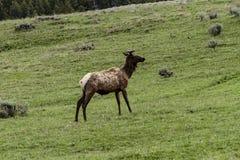 One elk inside Yellowstone National Park stock photos