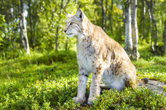 One eurasian lynx sitting in the green forest Royalty Free Stock Photography