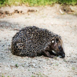 One European hedgehog (Erinaceus europaeus) Royalty Free Stock Image