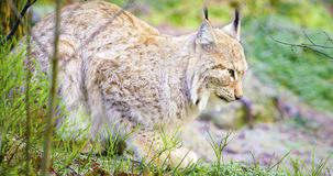 One european lynx cat lies in the forest at early winter Stock Image