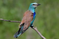 One European roller sits on a tree against nice green blurred background. Unusual close up and detailed photo royalty free stock images