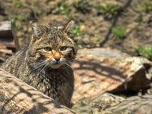 European wild cat, Felis s. silvestris, lives in the woods. One European wild cat, Felis s. silvestris, lives in the woods Royalty Free Stock Photography