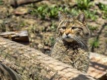 European wild cat, Felis s. silvestris, lives in the woods. One European wild cat, Felis s. silvestris, lives in the woods Stock Photos