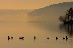 One in Every Crowd. A line of Canadian geese swimming at sunrise on Lake Degray, Arkansas.  One turned sidewise Stock Image