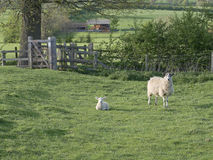 One ewe standing near lamb lying Stock Images