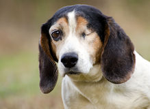 One eye Beagle rabbit dog stock photography