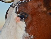 One eye with a cow`s tear. A tear drips from a cow in the eyes of a white forehead Royalty Free Stock Images