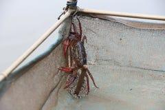 One eye crab Royalty Free Stock Photos