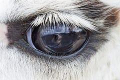 One eye of lama  ,close up. One eye of lama ,close up Royalty Free Stock Image