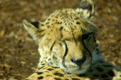 One Eye Leopard. A portrait of a leopard with only one eye Royalty Free Stock Images