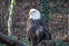 One-Eyed Bald Eagle Landing on Branch royalty free stock images
